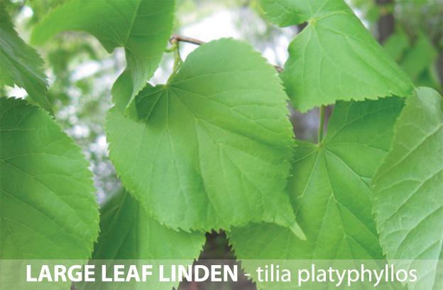 large-leaf-linden.jpg